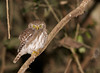 Ferruginous Pygmy-Owl can be found from Arizona to Argentina, but it's still always a thrill when you catch up to one. (Photo by guide Marcelo Padua)