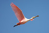Cruising the waterways for Jaguars is also a great birding technique. This nearly luminescent Roseate Spoonbill flew directly over our boat. (Photo by guide Marcelo Padua)