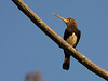 The spike-billed Brown Jacamar can be found right around the lodge at Garden of the Amazon. (Photo by guide Marcelo Padua)