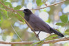 Purplish Jay is typically the only Corvid we encounter on this tour. (Photo by participant Bruce Hallett)
