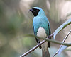 Numerous widespread species like this Swallow Tanager supplement the list of regional specialties we enjoy on this trip. (Photo by participant Bruce Hallett)