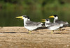 One of these Large-billed Terns is wearing some jewelry thanks to a researcher. (Photo by participant Bruce Hallett)