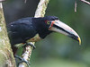 """The same fruiting tree attracted a flock of Collared Aracaris, this one seen eye-to-eye.  Many species at Rio Silanche range northward to Panama and Costa Rica, though some are represented by distinct subspecies in the southern extent of their ranges. <div id=""""caption_tourlink"""" align=""""right""""> [photo © guide Richard Webster]</div>"""