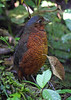 """An exciting new development on the west slope is the ability to watch such rarities as Giant, Moustached, and Yellow-breasted antpittas that have been trained to come on call by an enterprising local naturalist who feeds them (before his wife feeds us!). This is a Giant Antpitta. <div id=""""caption_tourlink"""" align=""""right""""> [photo © guide Alvaro Jaramillo]</div>"""