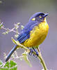 """The Lacrimose Mountain-Tanager moves with mixed flocks on the east slope of the Andes, but here east-slope forest (and many of its inhabitants) spills over the crest of the mountains and onto the upper slopes of the intermontane basin at Cajanuma. <div id=""""caption_tourlink"""" align=""""right""""> [photo © guide John Rowlett]</div>"""