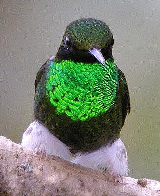 Jewels of Ecuador: Hummers, Tanagers & Antpittas