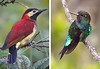 """The characteristic avifauna here includes these two stunners: Crimson-mantled Woodpecker, always a favorite, and Glowing Puffleg, the males of which glow all over. <div id=""""caption_tourlink"""" align=""""right""""> [photos © guides Mitch Lysinger & Dave Stejskal]</div>"""