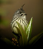 """Tufted Tit-Tyrant<br><div id=""""caption_tourlink"""" align=""""right""""> [photo © guide Jay VanderGaast]</div>"""