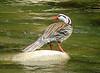 """Male Torrent Duck<br><div id=""""caption_tourlink"""" align=""""right""""> [photo © guide John Rowlett]</div>"""