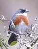 "Chestnut-breasted Mountain-Finch<br><div id=""caption_tourlink"" align=""right""> [photo © guide John Rowlett]</div>"