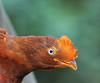 """Female Andean Cock-of-the-Rock<br><div id=""""caption_tourlink"""" align=""""right""""> [photo © participant Dick Stilwell]</div>"""