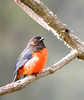 "Scarlet-bellied Mountain-Tanager<br><div id=""caption_tourlink"" align=""right""> [photo © guide John Rowlett]</div>"