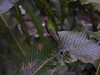 """Booted Rackettail<br><div id=""""caption_tourlink"""" align=""""right""""> [photo © guide Jay VanderGaast]</div>"""