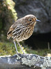 "Stripe-headed Antpitta, a high-elevation species and one of the more confiding of an otherwise difficult group<br><div id=""caption_tourlink"" align=""right""> [photo © participant Frank Chen]</div>"
