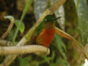 "Chestnut-breasted Coronet<br><div id=""caption_tourlink"" align=""right""> [photo © guide Jay VanderGaast]</div>"