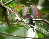 A small turn of his head, and the magenta gorget of the White-bellied Woodstar glows.  (Photo by guide Dan Lane)