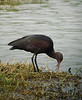 A Puna Ibis with a flushed red face (presumably in breeding condition) searches for a morsel of food at Villa Marsh.  (Photo by guide Dan Lane)