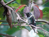 Resting after visiting the flowers at Cock-of-the-Rock Lodge, this bee-sized male White-bellied Woodstar is unobtrusive by nature.  (Photo by guide Dan Lane)