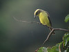 A Lemon-browed Flycatcher seems interested in the designs of a spider's web.  (Photo by guide Dan Lane)