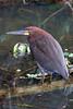 "Rufescent Tiger-Heron <br><div id=""caption_tourlink"" align=""right""> [photo © participant Paul Thomas]</div>"