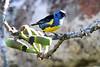 "Turquoise Tanager <br><div id=""caption_tourlink"" align=""right""> [photo © participant Paul Thomas]</div>"
