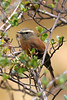 """Brown-backed Chat-Tyrant <br><div id=""""caption_tourlink"""" align=""""right""""> [photo © participant Paul Thomas]</div>"""