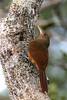 "Cinnamon-throated Woodcreeper <br><div id=""caption_tourlink"" align=""right""> [photo © participant Paul Thomas]</div>"