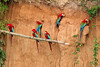 """Red-and-green Macaws at mineral lick <br><div id=""""caption_tourlink"""" align=""""right""""> [photo © participant Paul Thomas]</div>"""