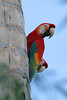 "Scarlet Macaws <br><div id=""caption_tourlink"" align=""right""> [photo © participant Paul Thomas]</div>"