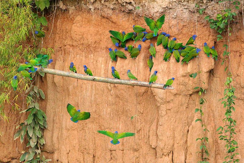 "Blue-headed Parrots at mineral lick <br><div id=""caption_tourlink"" align=""right""> [photo © participant Paul Thomas]</div>"