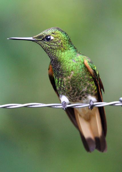"Buff-tailed Coronet, Paz de las Aves <br><div id=""caption_tourlink"" align=""right""> [photo © guide Alvaro Jaramillo]</div>"