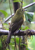 "Olivaceous Piha, Paz de las Aves <br><div id=""caption_tourlink"" align=""right""> [photo © guide Alvaro Jaramillo]</div>"