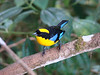 "Blue-winged Mountain-Tanager, Mindo Loma <br><div id=""caption_tourlink"" align=""right""> [photo © guide Mitch Lysinger]</div>"