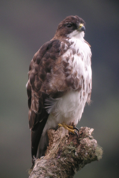 "White-throated Hawk, Calacali road <br><div id=""caption_tourlink"" align=""right""> [photo © guide Mitch Lysinger]</div>"