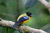 "Black-chinned Mountain-Tanager, Mindo Loma <br><div id=""caption_tourlink"" align=""right""> [photo © participant Alan Wight]</div>"
