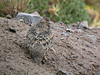 """Rufous-bellied Seedsnipe, Papallacta <br><div id=""""caption_tourlink"""" align=""""right""""> [photo © guide Mitch Lysinger]</div>"""