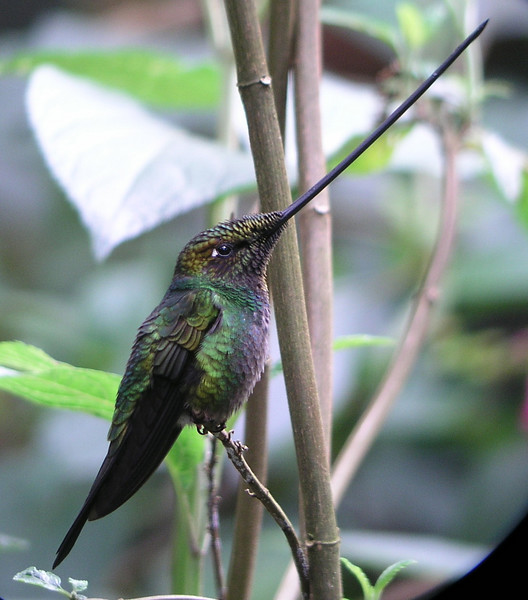 "Sword-billed Hummingbird, Guango <br><div id=""caption_tourlink"" align=""right""> [photo © guide Mitch Lysinger]</div>"