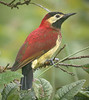 "Crimson-mantled Woodpecker <br><div id=""caption_tourlink"" align=""right""> [photo © guide Mitch Lysinger]</div>"