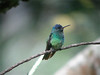 """Male Golden-tailed Sapphire at Amazonia Lodge<div id=""""caption_tourlink"""" align=""""right""""><br>[photo © Rose Ann Rowlett]</div>"""