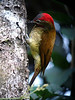 """This Golden-olive Woodpecker is one of a long list of species to be seen near Cock-of-the-rock Lodge. <div id=""""caption_tourlink"""" align=""""right""""><br>[photo © guide Rose Ann Rowlett]</div>"""