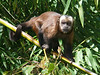 """The lodge maintains banana feeders, and the local Brown Capuchins were quick to discover them and capitalize on the ample and reliable resource. <div id=""""caption_tourlink"""" align=""""right""""><br>[photo © participant David Smith]</div>"""