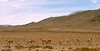 "A group of Vicuñas at Los Cardones National Park <div id=""caption_tourlink"" align=""right""> [photo © guide Dave Stejskal]</div>"