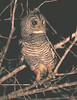 "The Chaco Owl is now separated from the Rufous-legged Owl due to its paler plumage, distribution and distinctive voice. <div id=""caption_tourlink"" align=""right""> [photo © guide Dave Stejskal]</div>"