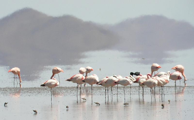 "More flamingos <div id=""caption_tourlink"" align=""right""> [photo © guide Dave Stejskal]</div>"
