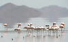 "More flamingos <div id=""caption_tourlink"" align=""right""> [photo © guide Dave Stejskal]</div>"