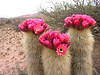 "Cardones means cacti, and this park is full of them. <div id=""caption_tourlink"" align=""right""> [photo © guide Dave Stejskal]</div>"