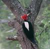 "Cream-backed Woodpecker <div id=""caption_tourlink"" align=""right""> [photo © guide Dave Stejskal]</div>"