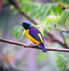"Golden-rumped Euphonia<div id=""caption_tourlink"" align=""right""> [photo © guide Dave Stejskal]</div>"