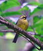 "Yellow-striped Brush-Finch <div id=""caption_tourlink"" align=""right""> [photo © guide Dave Stejskal]</div>"