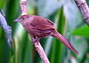 "Freckle-breasted Thornbird <div id=""caption_tourlink"" align=""right""> [photo © guide Dave Stejskal]</div>"